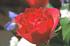 rose-matte.png