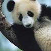 cropped_panda.jpg