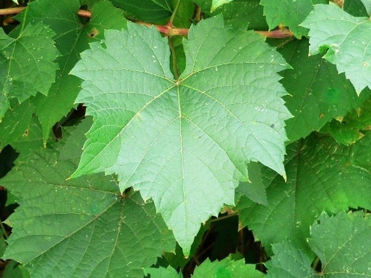 7178ad19-5dbf-4836-a5e7-a729a0497630--concord-grape-leaves.jpg